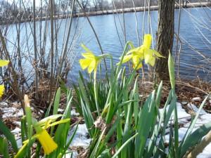 river daffodil
